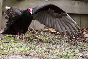 Turkey Vulture Stock 4: Wing by HOTNStock