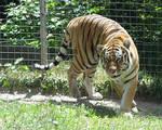 Amur Tiger Stock 12