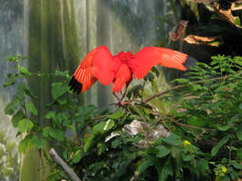 Bird Stock 8: Scarlet Ibis Wings by HOTNStock