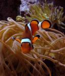 Clownfish Stock 1