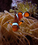 Clownfish Stock 1