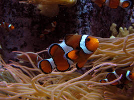 Clownfish Stock 2 by HOTNStock