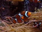 Clownfish Stock 2