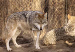 Mexican Wolf Stock 11