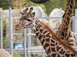 Giraffe Stock 15