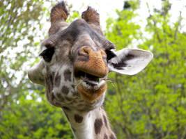 Giraffe Stock 16