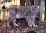 Lynx Stock 1