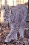 Lynx Stock 4
