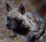 Hyena Stock 4