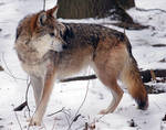 Mexican Wolf Stock 14