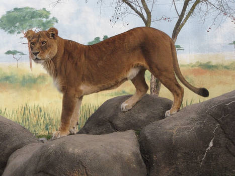 Lion Stock 32