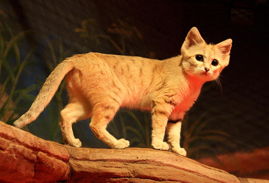 Sand Cat Stock 12 by HOTNStock