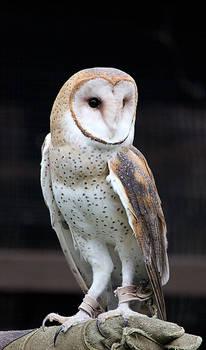 Owl Stock 10: Barn Owl