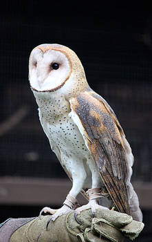 Owl Stock 11: Barn Owl