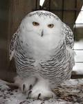 Owl Stock 12: Snowy