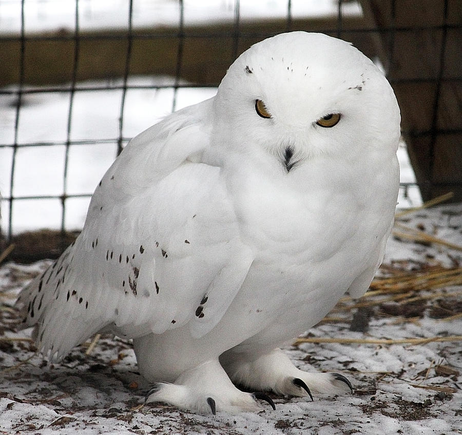 Owl Stock 13: Snowy by HOTNStock
