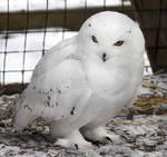 Owl Stock 13: Snowy
