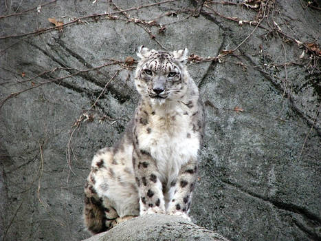 Snow Leopard Stock 17