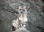 Snow Leopard Stock 17