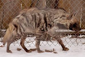 Hyena Stock 8 by HOTNStock