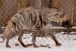 Hyena Stock 8