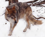 Mexican Wolf Stock 16: Submissive