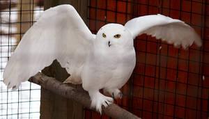 Owl Stock 14: Snowy