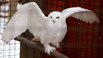 Owl Stock 14: Snowy by HOTNStock