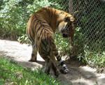 Amur Tiger Stock 14