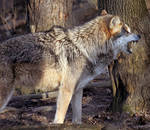 Mexican Wolf Stock 17: Snarling