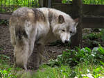 Timber Wolf Stock 7