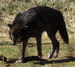 Gray Wolf Stock 2