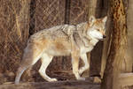 Mexican Wolf Stock 19
