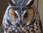 Owl Stock 15: Long-eared