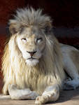 White Lion Stock 1