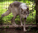 Timber Wolf Stock 8
