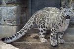 Snow Leopard Stock 19