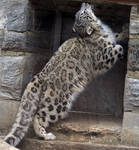 Snow Leopard Stock 21