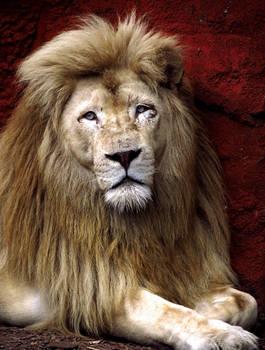 White Lion Stock 3