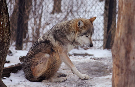 Mexican Wolf Stock 22