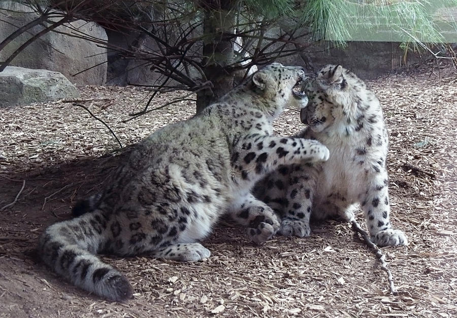 Snow Leopard Stock 23 by HOTNStock