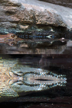 Crocodile Stock 1
