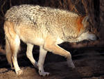 Mexican Wolf Stock 25