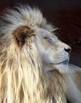 White Lion Stock 5