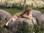 Lion Stock 33