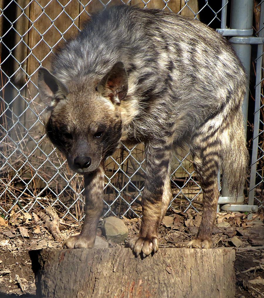 Hyena Stock 10 by HOTNStock