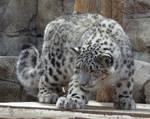 Snow Leopard Stock 24