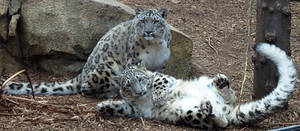 Snow Leopard Stock 25: Mother and Cub