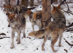 Mexican Wolf Stock 26: Pack