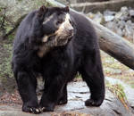 Spectacled Bear Stock 3 by HOTNStock